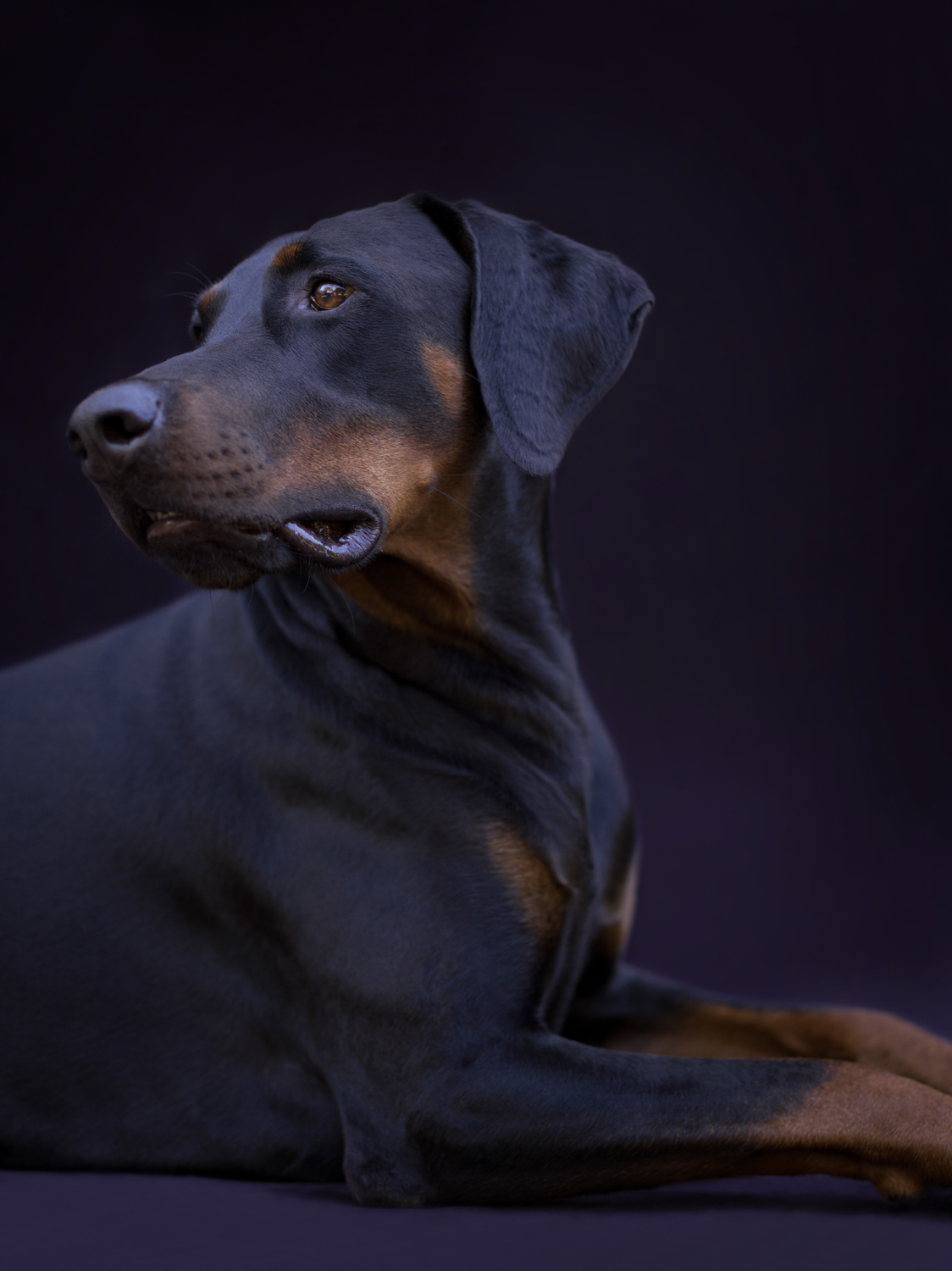 Doberman Dog photographed against Black Background, lying down facing to the right, head turned looking to left