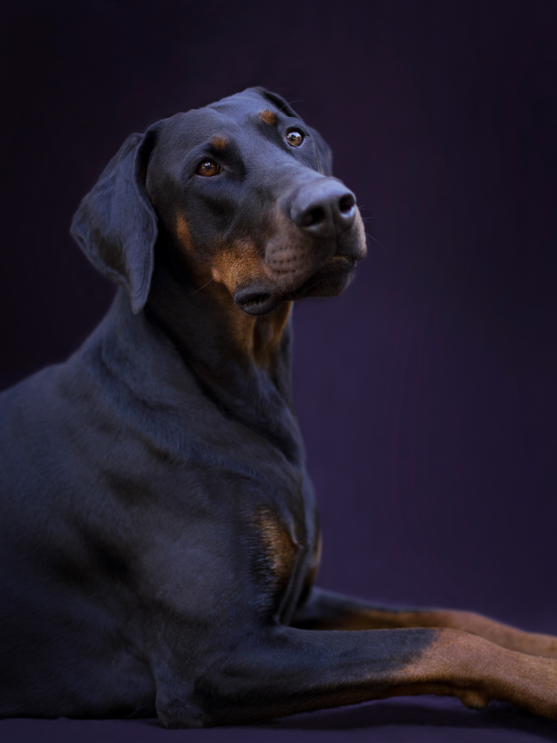 Doberman Dog photographed against Black Background, lying down facing to the right, head turned slightly towards camera