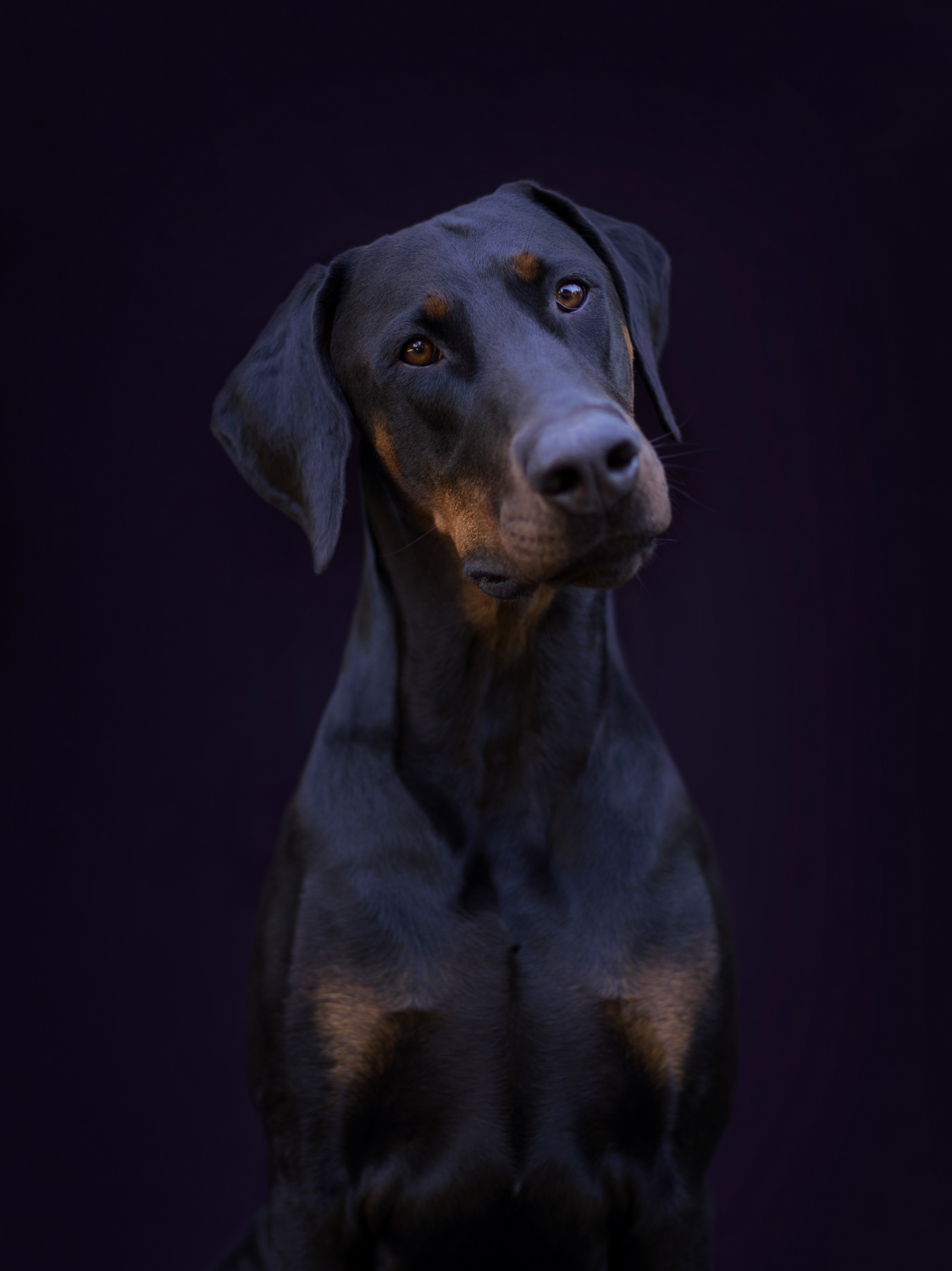Doberman Dog photographed against Black Background sitting facing camera