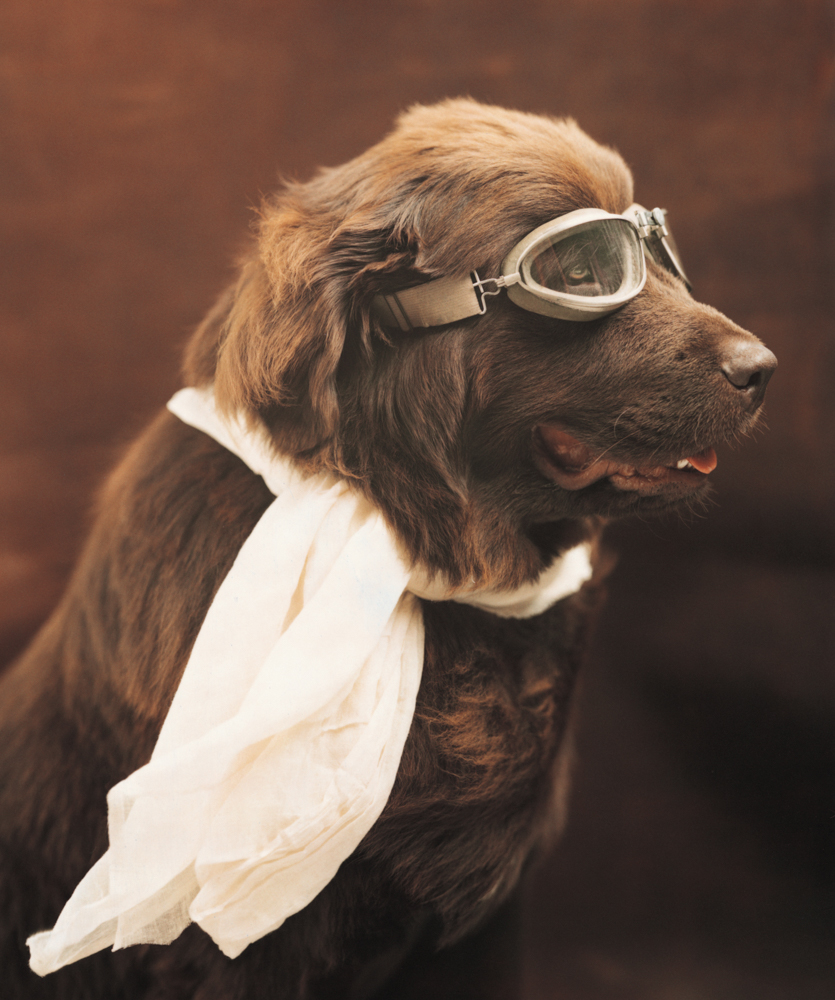 Brown Newfoundland Dog wearing scarf and flying goggles