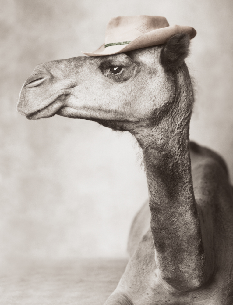 Camel in profile wearing hat, sepia