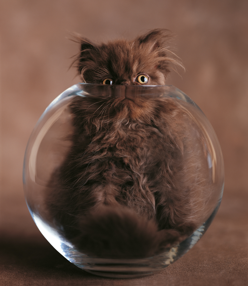 Brown Persian cat sitting insi