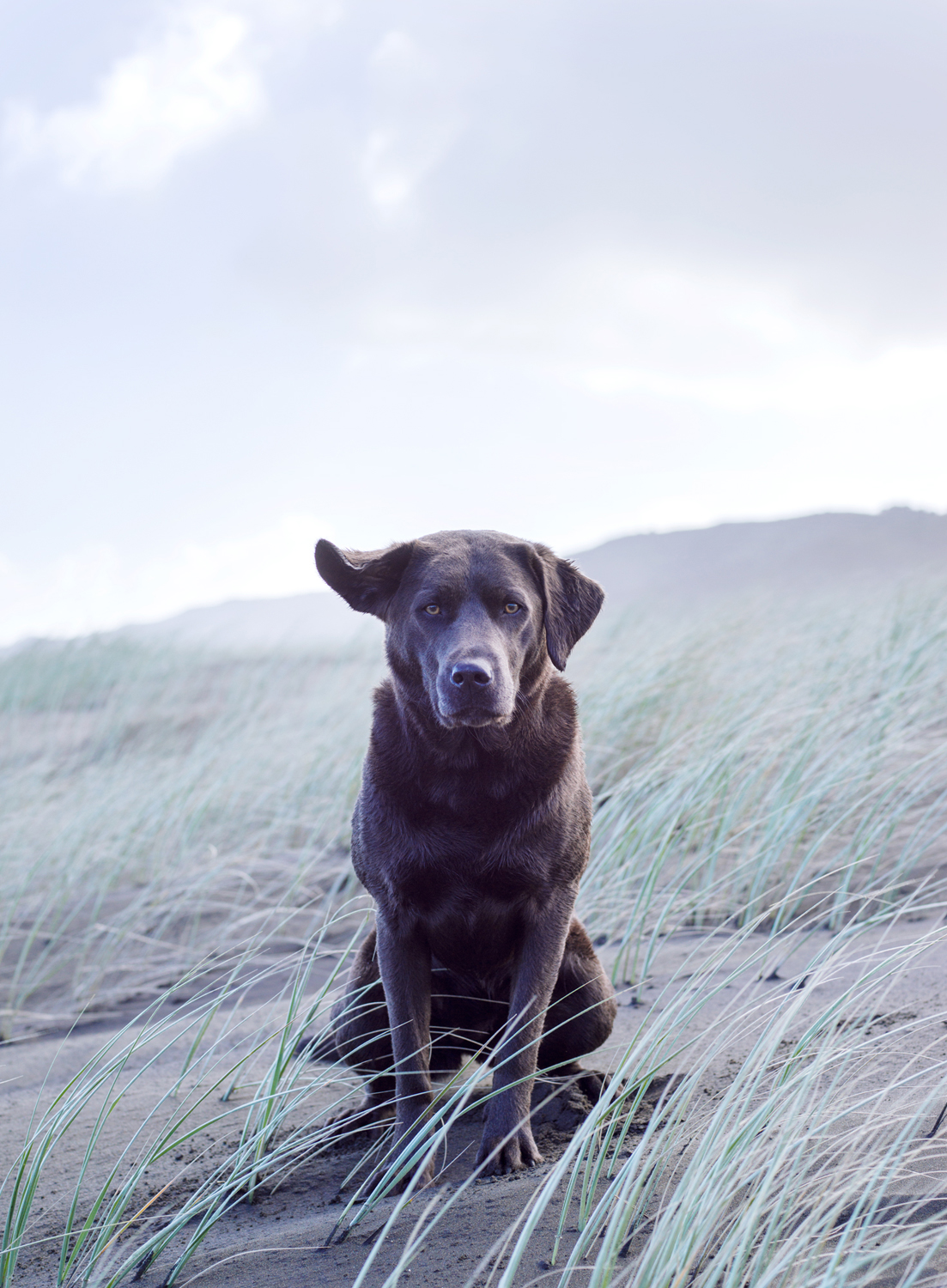 Charcoal Labrador sitting on sand dunes, ear flapping in the wind