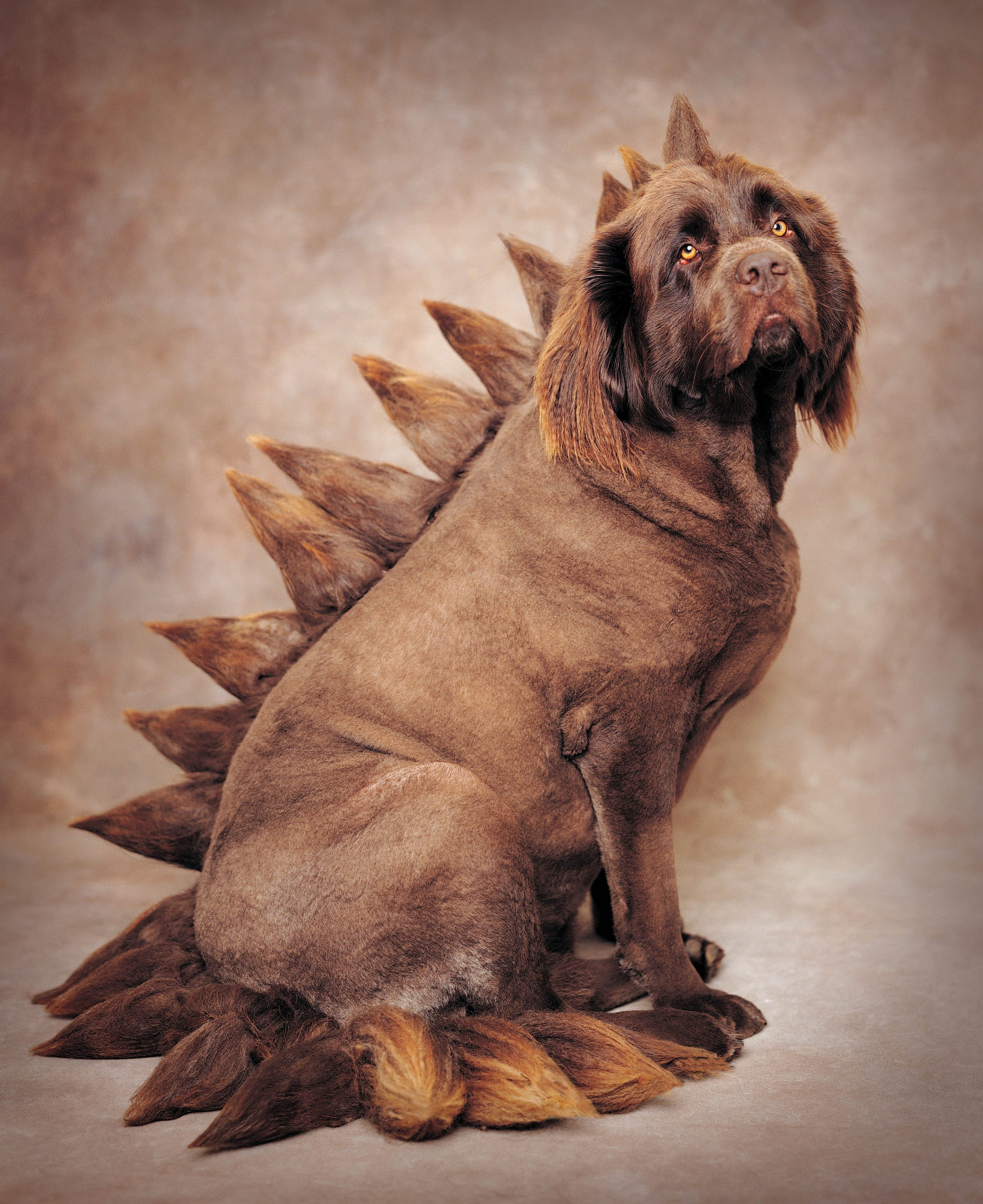 Chocolate Newfoundland Dog photographed as a Dinosaur with spikes down his back.